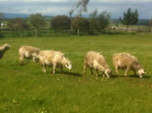 Merribrook White Dorper Stud Rams 3YO For Sale Tullamarine Hume Area Preview