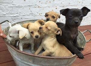 Chihuahua puppies Yass Yass Valley Preview