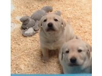 Chunky golden Labrador puppies for sale