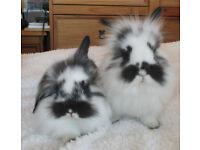 Fluffy Lionhead Dwarf baby bunnies