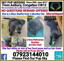 URGENT Blue staff pup missing with one white paw 4 months old from congleton area