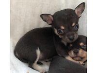 Chihuahua girl puppy x