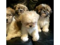 Shih tzu | Dogs & Puppies for Sale - Gumtree