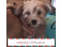 Fluffy maltease x Chihuahua