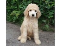 KC Registered Standard Poodle Male Puppy Ready Now