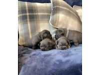 Fluffy and testable french bulldog puppies