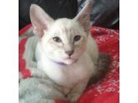 2 Pedigree GCCF REGISTERED kittens for sale! 1 Caramel tabby point, 1 blue Tabby point siamese