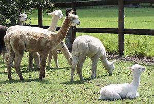 Show Quality alpacas from ambersun alpacas Woodford Moreton Area Preview