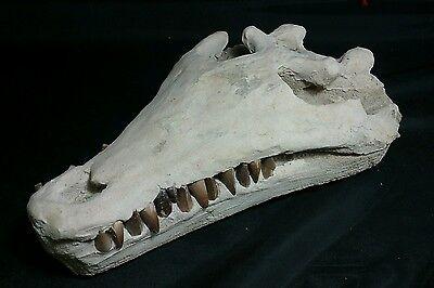 "Fossil Crocodile Skull 11.5"" long.  Loaded with teeth"