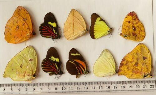 LOT OF 10 BUTTERFLIES FEMALE A1 SP AMAZING FROM UCAYALI-PERU