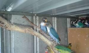 Masked Lovebirds Keyneton Mid Murray Preview