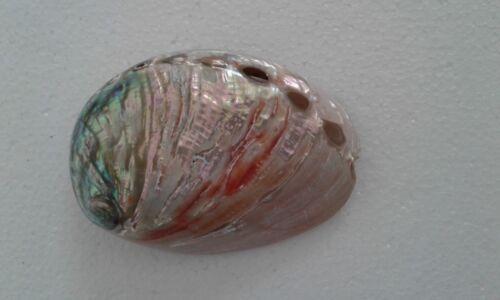 "3-4"" Red Polished Abalone Shell Beach Nautical Decor"