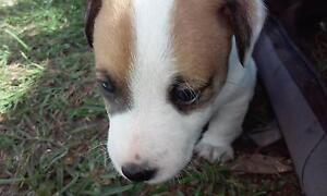 Purebred Jack Russell puppies Gympie Gympie Area Preview