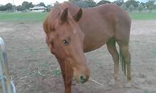 Free Lease 16.1hh Thoroughbred Gelding Moora Moora Area Preview