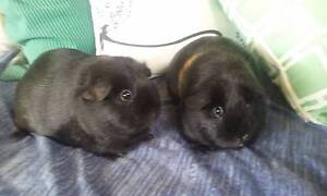 2xGUINEA PIGS+ HUTCH! Umina Beach Gosford Area Preview