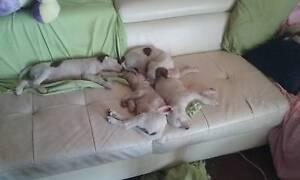 Border Collie Cross puppies Biloela Banana Area Preview