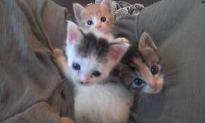 Manx Kittens Tahmoor Wollondilly Area Preview