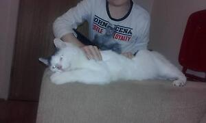 For Urgent regretful Sale White Male Cat Green eyes St Marys Penrith Area Preview