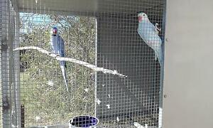 pair indian ringnecks Warwick Southern Downs Preview