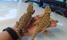 Last 3 bearded dragons. ...Only $50 each Wonga Cairns Surrounds Preview