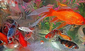 Goldfish 5cm $1 Cabramatta West Fairfield Area Preview