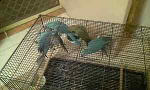 Baby ringnecks Merrylands Parramatta Area Preview