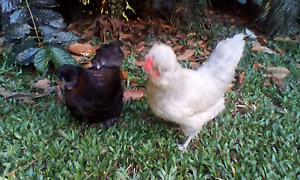Boarding required for 2 lovely tame hens, will pay $30 per week. Cairns Cairns City Preview