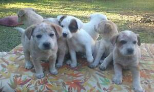 9 puppies for sale Tomerong Shoalhaven Area Preview
