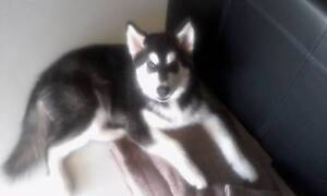4 Month Old / Female / Non Desexed / Alaskan Malamute Munno Para West Playford Area Preview