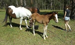 Clydie X Mare and Filly foal Medowie Port Stephens Area Preview
