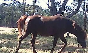 Qh x Arab Stallion Maryborough Central Goldfields Preview