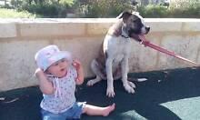 American bulldog puppy Wellard Kwinana Area Preview