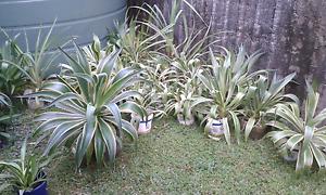 Agave plants Mossman Cairns Surrounds Preview