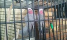 Pair Of Galah's Chipping Norton Liverpool Area Preview