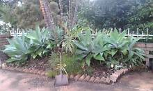 Agave plants Wynnum Brisbane South East Preview