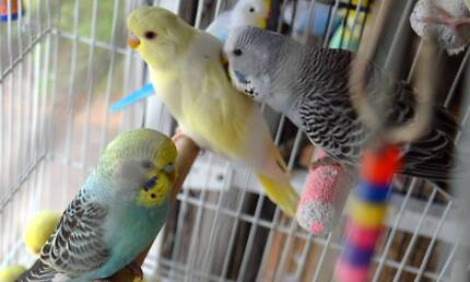 Baby budgies - gorgeous colours - yellow, gf green, gf blue...$30 Loganlea Logan Area Preview