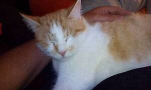 Missing Ginger Cat from Kariong Kariong Gosford Area Preview