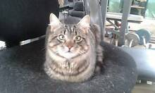 LOST - SIBERIAN MALE CAT - SEMI LONG HAIRED MAKERAL TABBY Hoppers Crossing Wyndham Area Preview