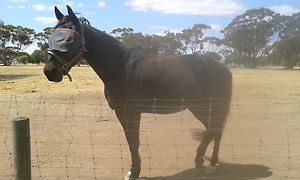 Black standard bred Muchea Chittering Area Preview
