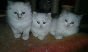 Adorable pure breed blue mitt and bi colour ragdoll kittens Sassafras Yarra Ranges Preview