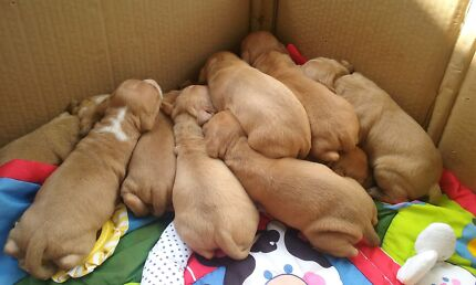 Red nose pups  Gympie Gympie Area Preview