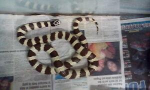 4feet snake