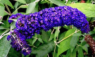 Purple Butterfly Flower - 50 DARK PURPLE BUTTERFLY BUSH Buddleia Davidii Hummingbird Shrub Flower Seeds