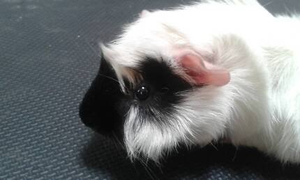 Friendly Young Male Guinea Pig Clear Island Waters Gold Coast City Preview