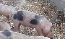 Pigs, free range, for sale. Ellendale Central Highlands Preview