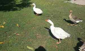 Ducks and geese for sale Pullenvale Brisbane North West Preview
