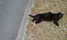 Found deceased male cat Girrawheen Alexander Heights Wanneroo Area Preview