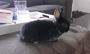 Pure bred netherland dwarf rabbits Narre Warren South Casey Area Preview