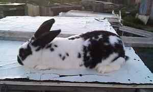 Meat Rabbits For Sale Campbell Town Northern Midlands Preview