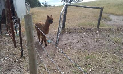 Alpacas - young male and female